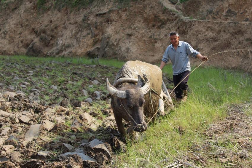 """在我县山区那些交通不便、无法实行机耕的边远山村,牛依然是个""""劳动力""""和乡亲们赖以生存的工具。 牛,在生产能手农民伯伯的驾驭、操作下,一天一般能耕作斗把田。是它用自己的辛劳让田得到耕耘、平整而栽插上水稻,收获粮食。 耕田的时候,牛的两只后脚总会踩到两只前脚的脚印里,像人在走路。犁头深深的插进泥土里,褐色的泥土翻成一条线,特别直。老水牛干活很尽职尽责,而且别的什么它都不计较。它从未向主人提出""""我要吃肉、我要穿花衣服""""之类的要求。冬季,老水牛只能吃到枯黄的稻草。"""