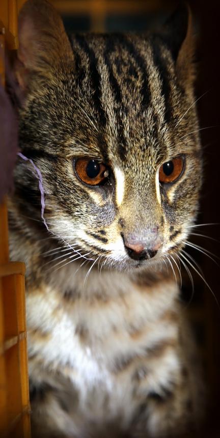 太湖惊现国家二级保护野生动物——豹猫