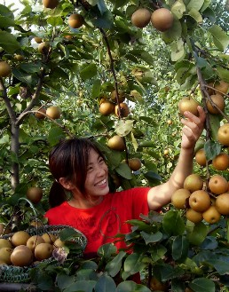 喜摘黄花梨