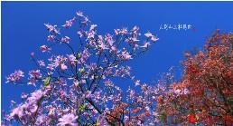 清明节前后,地处大别山区的安徽安庆市岳西县天峡景区,数万株红色、粉色、紫色的杜鹃花进入盛花期,漫山斑斓的杜鹃花,吸引了众多游客清明节假期前来观赏。