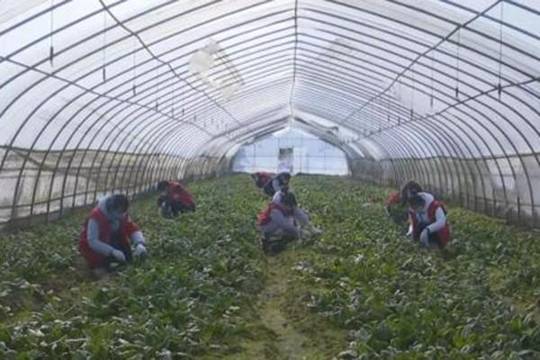 (这张没有原图)魏婉琳(左一)在采摘菠菜.jpg